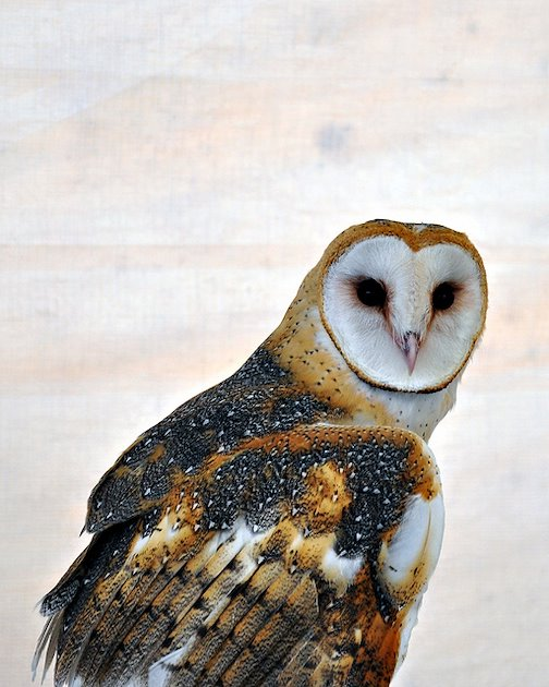 "research paper on the northern spotted owl Spotted horses owl creek bridge the northern spotted owl was owl creek bridge by ambrose bierce a reaction paper ""an occurrence at owl creek bridge"" by."